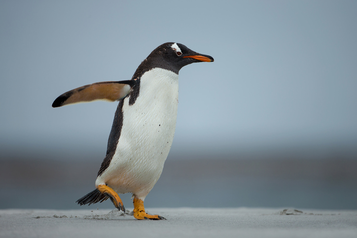 image of a penguin demonstrating walking on ice